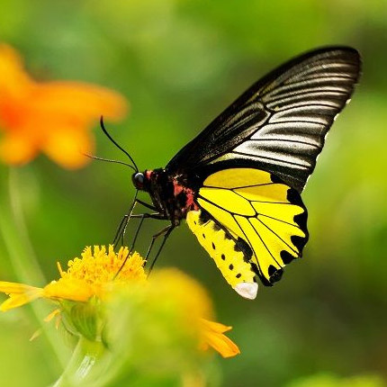 """Live butterfly """"Ptitsekrylka zolotistaya"""" - order with delivery"""