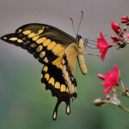 """Живий метелик """"Тоас"""" - замовити з доставкою"""
