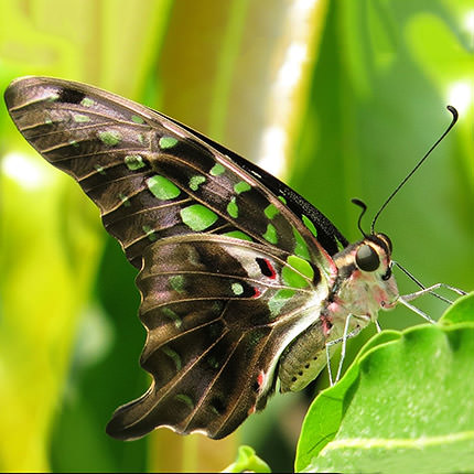 "Live butterfly ""Agamemnon"" - order with delivery"
