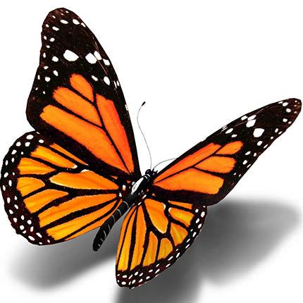 "Живая бабочка ""Монарх"" - доставка по Украине"