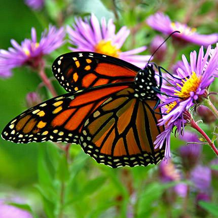 """Живая бабочка """"Монарх"""" - заказать с доставкой"""