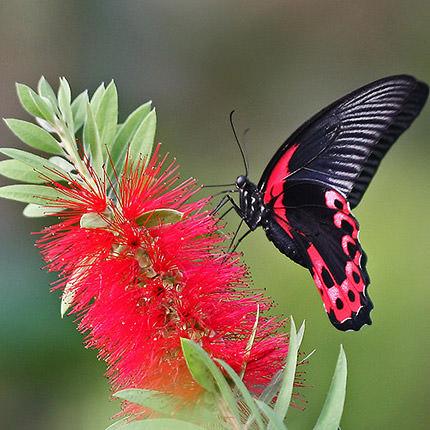 """Живая бабочка """"Мормон обыкновенный"""" (самка) - заказать с доставкой"""