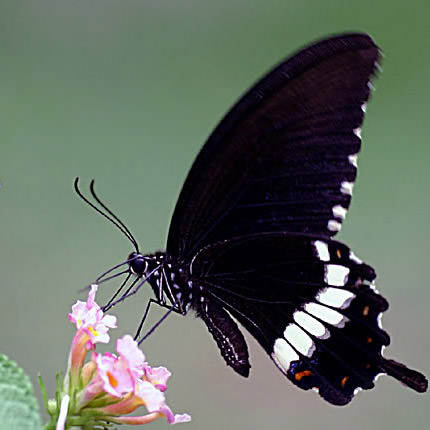 """Live butterfly """"Mormon ordinary"""" (male) - order with delivery"""