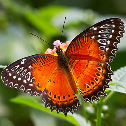 "Live butterfly ""Persia"" - delivery in Ukraine"