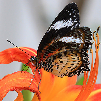 "Live butterfly ""Persia"" - order with delivery"