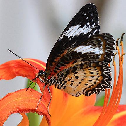 """Живая бабочка """"Персия"""" - заказать с доставкой"""