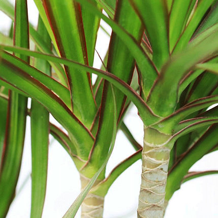 """Houseplant """"Dracaena"""" - order with delivery"""
