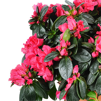 """Комнатное растение """"Азалия""""  - заказать с доставкой"""
