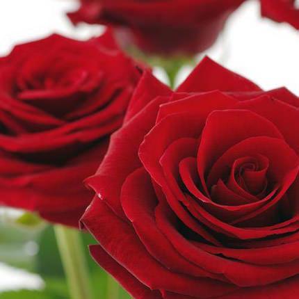 Роза красная (поштучно) - доставка по Украине
