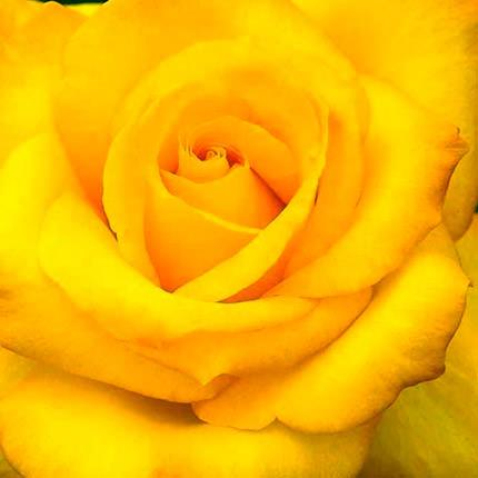 Роза желтая (поштучно) - доставка по Украине