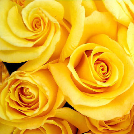 Yellow rose (by an item) - order with delivery