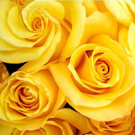 Роза желтая (поштучно) - заказать с доставкой
