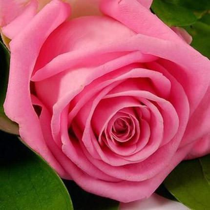 Роза розовая (поштучно) - доставка по Украине