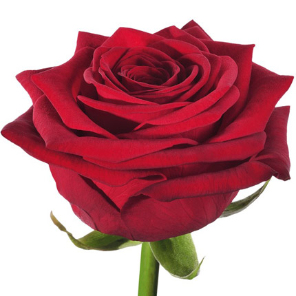 7 red roses - delivery in Ukraine