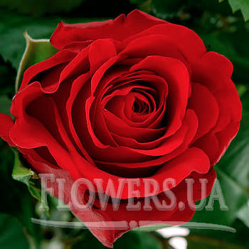 "Bright bouquet of roses ""Nostalgia"" - order with delivery"