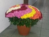 555 multi-colored roses