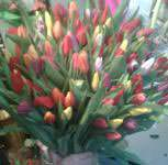 101 red and pink tulips