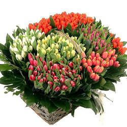 301 різнокольоровий тюльпан