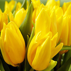Yellow tulip (by an item)