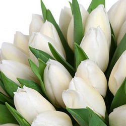 White tulip (by an item)