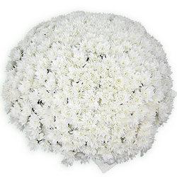 101 біла ромашкова хризантема