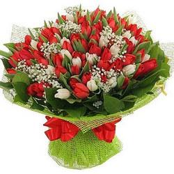 151 червоний і білий тюльпан