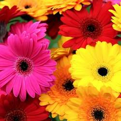 Mix of Gerberas (by an item)