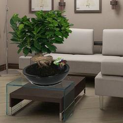 "Houseplant ""Ficus Ginseng"""