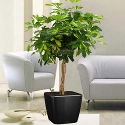 "Houseplant ""Scheffler tree"" (pigtail)"