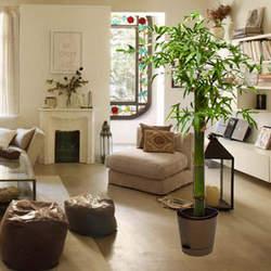 """Комнатное растение """"Бамбук"""" (обыкновенный, штамбовой)"""