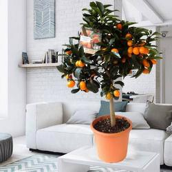 "Houseplant ""Citrus"" (Kumquat)"