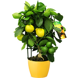 "Houseplant ""Citrus-Limon"" (Lemon Trellis)"