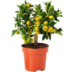"""Комнатное растение """"Цитрус-Каламондин"""" (мини-штамб)"""