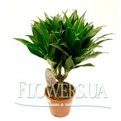 "Houseplant ""Dracaena"" (large)"