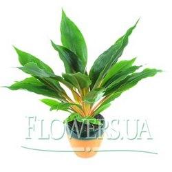 "Houseplant ""Chlorophytum"""