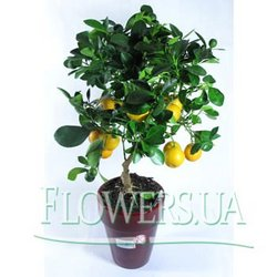 "Houseplant ""Lemon tree"""