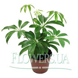 """Комнатное растение """"Шефлера"""""""