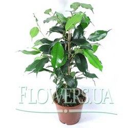 """Комнатное растение """"Фикус"""""""