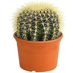 """Кімнатна рослина """"Кактус"""" (великий)"""
