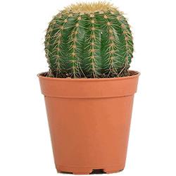 """Комнатное растение """"Кактус"""" (маленький)"""