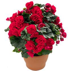 "Houseplant ""Begonia"""