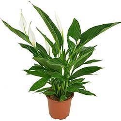 """Комнатное растение """"Спатифиллум"""""""
