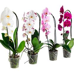 """Комнатное растение """"Фаленопсис"""" (орхидея)"""