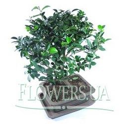 """Houseplant """"Bonsai"""""""