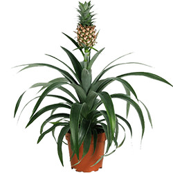 "Houseplant ""Pineapple"""