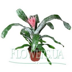 "Houseplant ""Aechmea"""