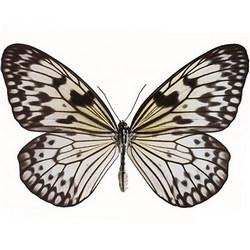 """Живая бабочка """"Зебра"""""""