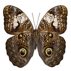 "Live butterfly ""Kaligo"""