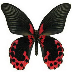 "Live butterfly ""Red Mormon"""