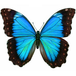 "Live butterfly ""Morfida"""